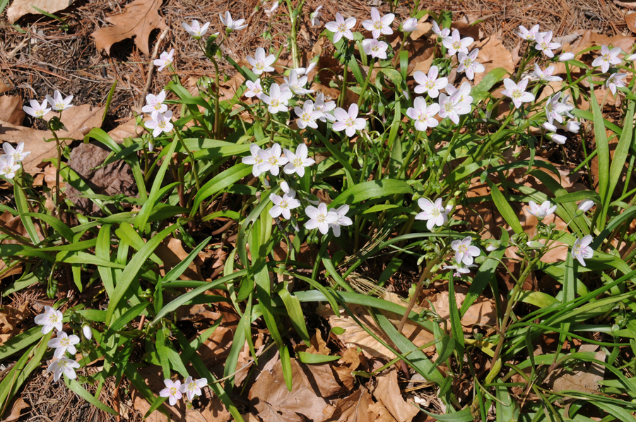 Claytonia_virginica_1