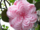 Keep An Eye Out For This Incredible Camellia